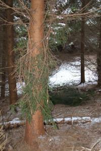Osetreny strom